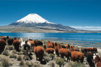 Llamas at the Arica Volcano, Lauca National Park, Northern Chile