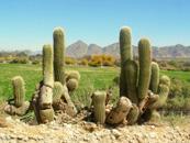 Cactus in Argentina