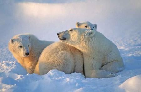 Arctic---Polar---Bears---shutterstock_116102623-small