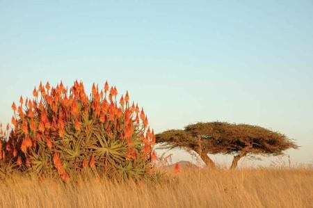 FD-Aloe-and-thorn-bush-hr