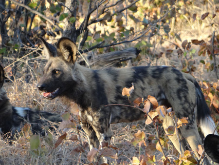 botswana_wild_dog