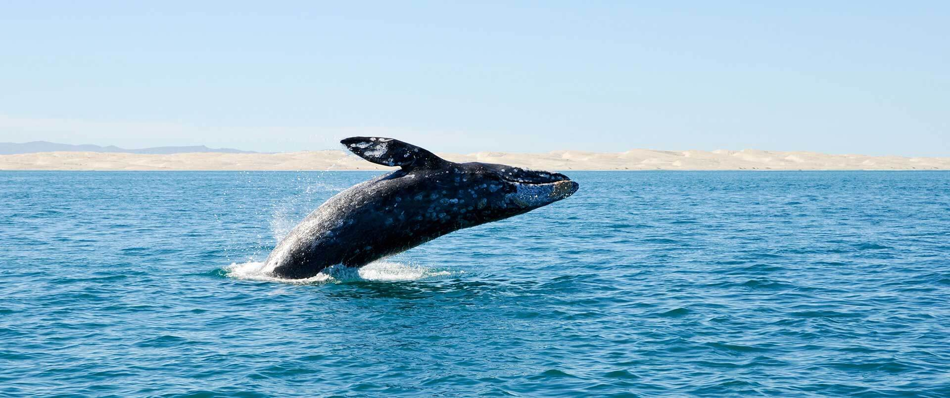 Baja California Whale Watching