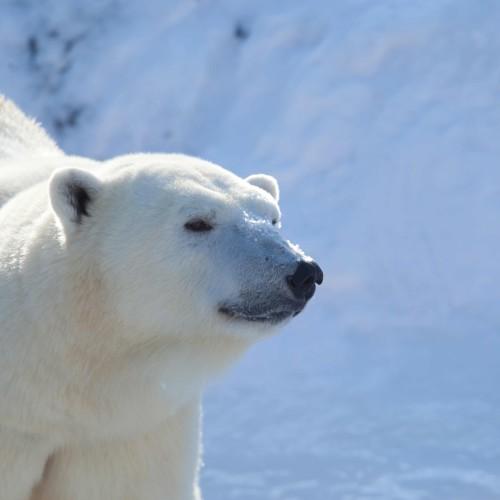 Canada – Polar Bears
