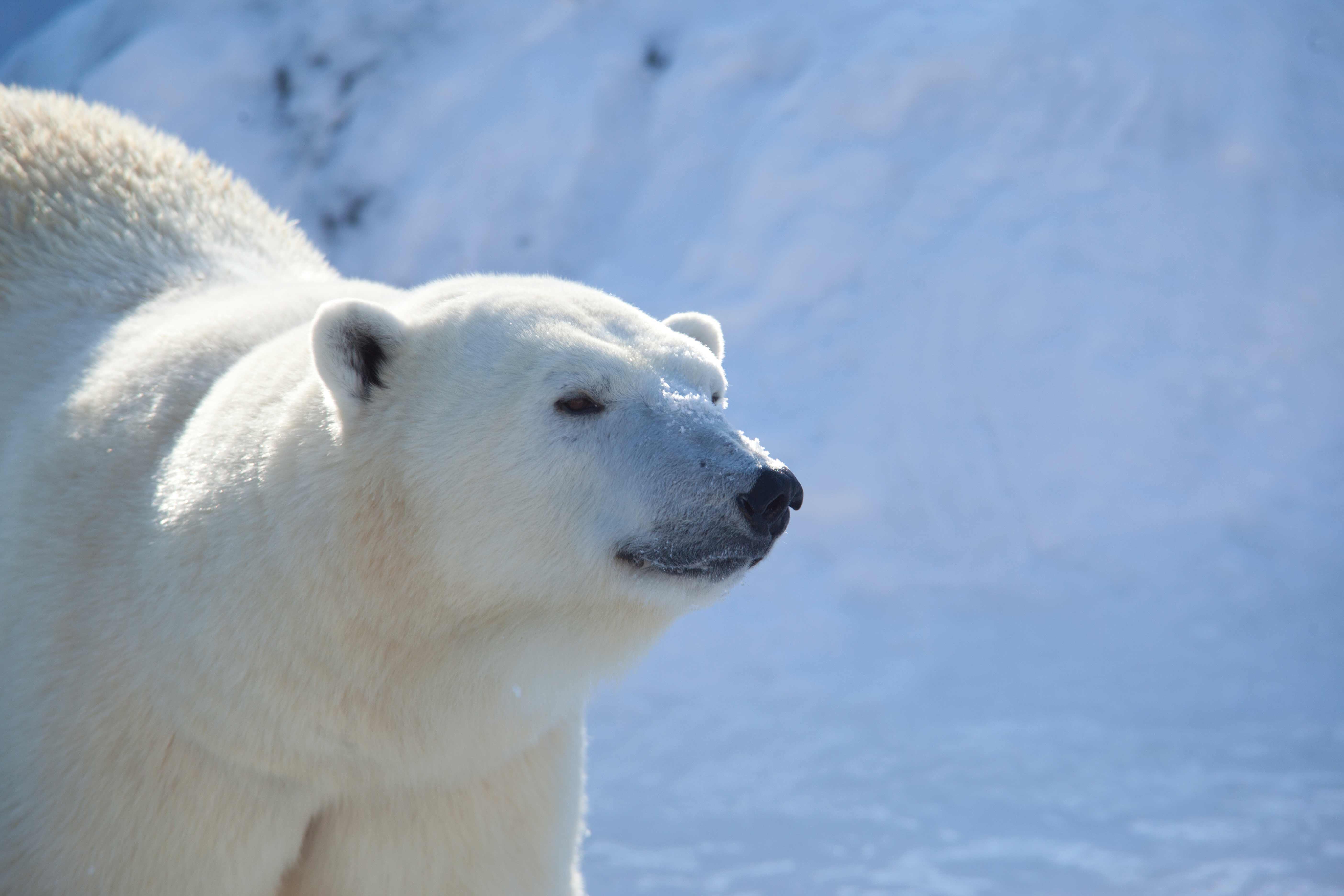 Canada - Polar Bears