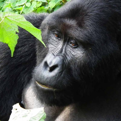 Uganda: Gorillas, Chimps and Wildlife