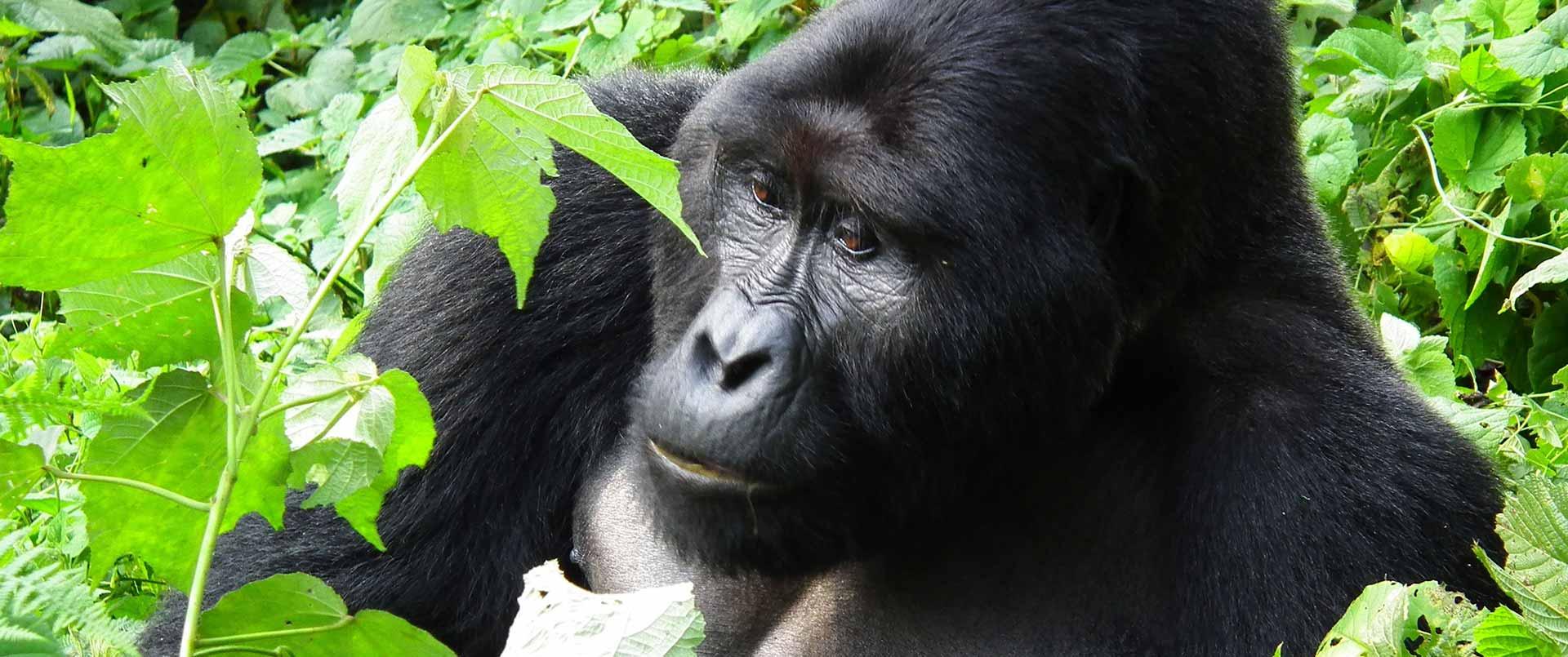 Uganda: Gorillas, Chimps and Wildlife