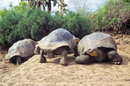Ecuador_Galapagos_Santa_Cruz_Research_centre_Giant_Tortoise_shutterstock_121830973