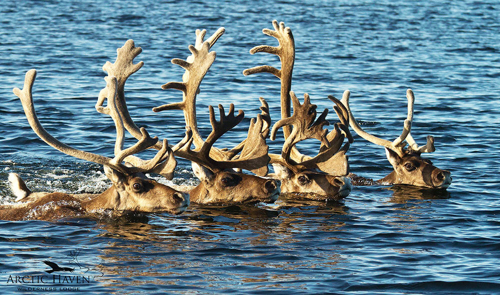 caribou swim torrent