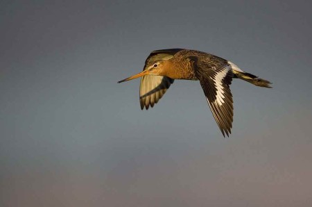 Black-tailed-Godwit-Iceland-08-1-Keith-Offord