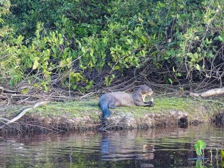 Giant-Otter-easting-fish,-Rui-Mutum,-Pantanal---Cat-Blog