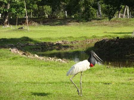 Jabiru,-Rui-Mutum,-Pantanal---Cat-blog