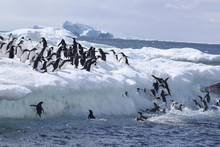 Celebrating-Shackleton-blog-penguins-falling-off-ice