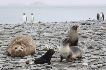 Celebrating-Shackleton-blog,-seal-family
