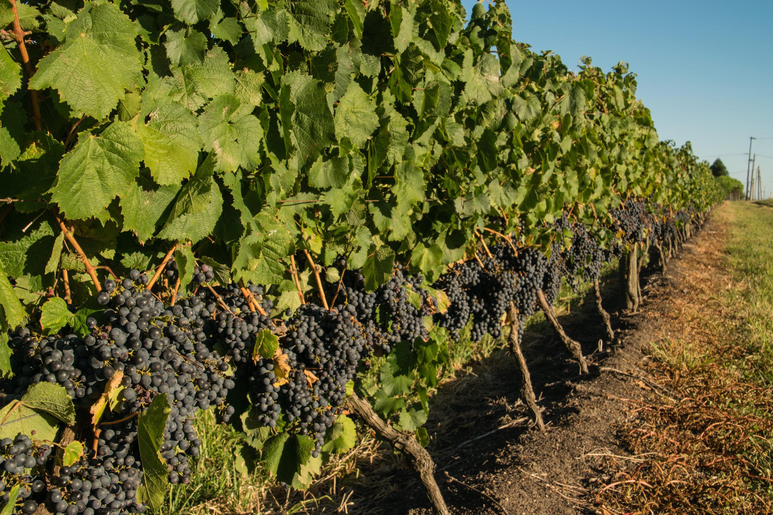 Winelands of Uruguay
